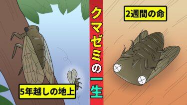 【ミステリー調査団】過酷なクマゼミの一生を漫画にしてみた!暗い地中で5年間を過ごす【漫画動画】